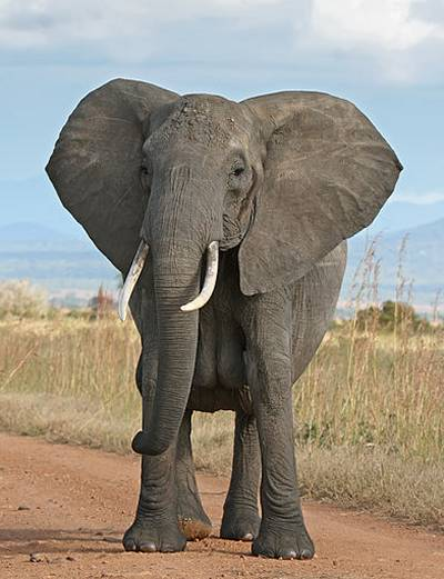 Elephants and Feng Shui harmony - African Bush Elephant image