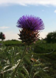 Scotlands Thistle image